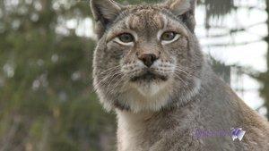 Les lynx sont à Crémines