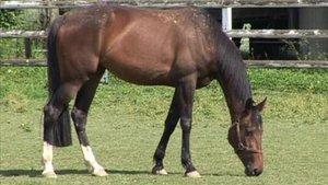 Le cheval des Franches-Montagnes en évidence
