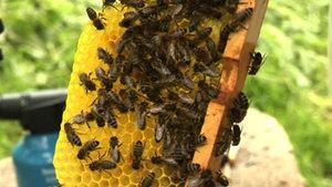 Les abeilles en difficulté dans la région