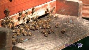 Berne au chevet de ses abeilles