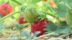 La fraise : du producteur au consommateur